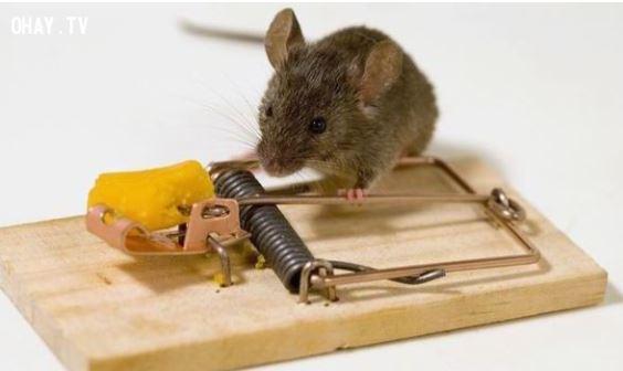 Chuột say