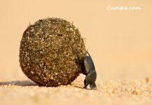 Đất nứt con bọ hung